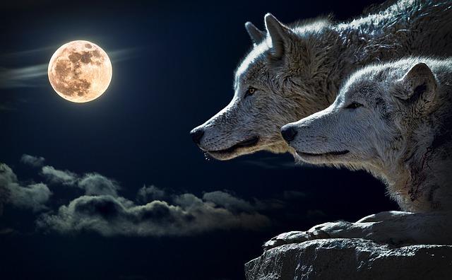 Dva vlci
